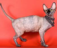 sphynx cattery Baby-Rah :: Sold sphynx kittens, sold sphynx