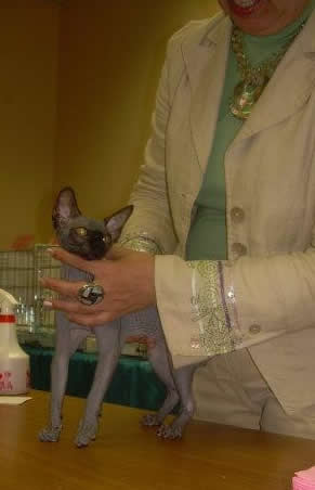 Winners of show - sphynx males, sphynx females, sphynx kittens Baby Rah.